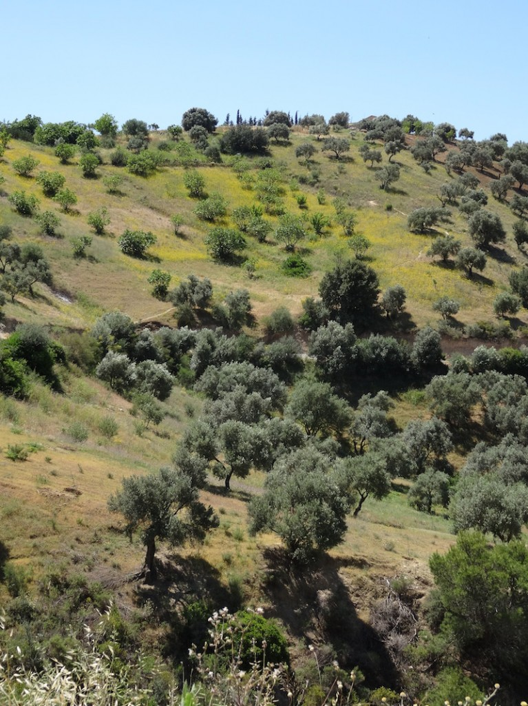 Olive trees on the hills of Kabylie.